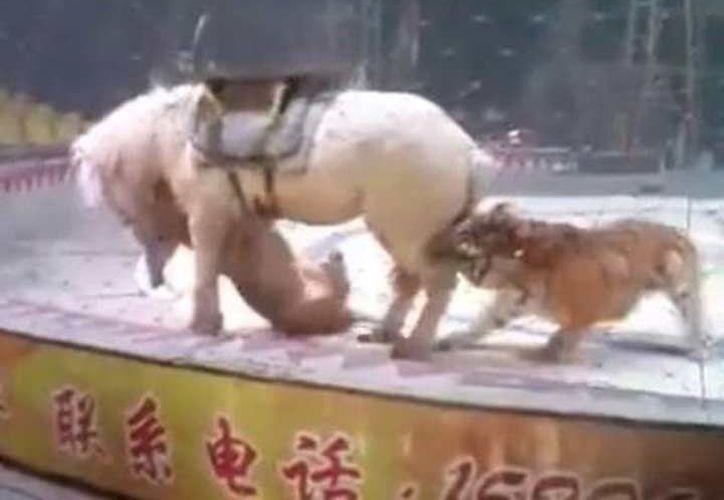 Un león y un tigre atacaron a un caballo durante un ensayo de circo. (Captura video)