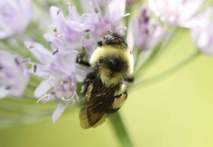 La población del abejorro se ha reducido en un 87 por ciento. (Sarina Jepsen/The Xerces Society via AP)