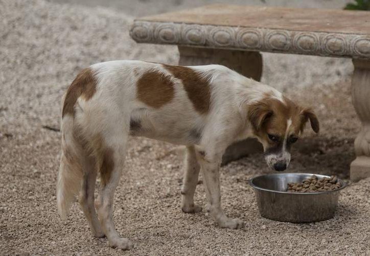 Se ha logrado dar en adopción a más de 70 perros y gatos del Centro de Bienestar Animal (Cebiam) en Playa del Carmen. (Archivo/SIPSE).