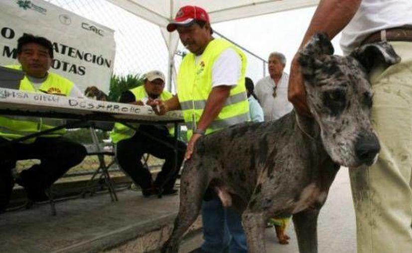 Al mes se dan en  adopción un promedio de 35 perros sanos, que se entregan esterilizados y desparasitados. (Cortesía/SIPSE)