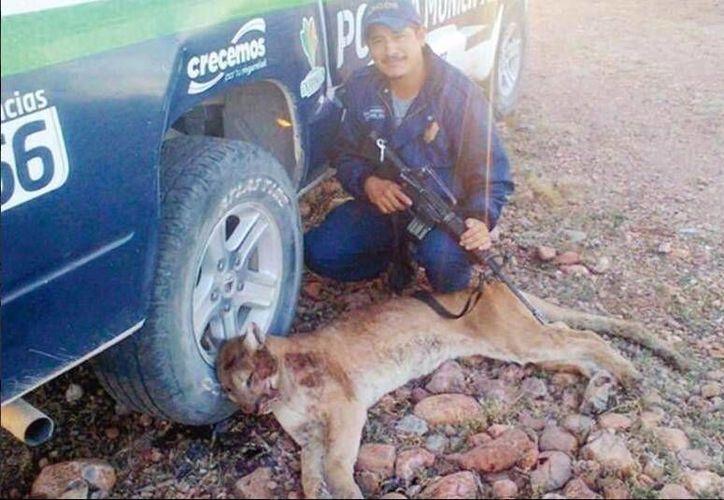 La Profepa indica que el policía municipal Gilberto Ochoa no precisó si el felino representaba peligro para alguna persona. (Twitter.com/@nydiacervera)