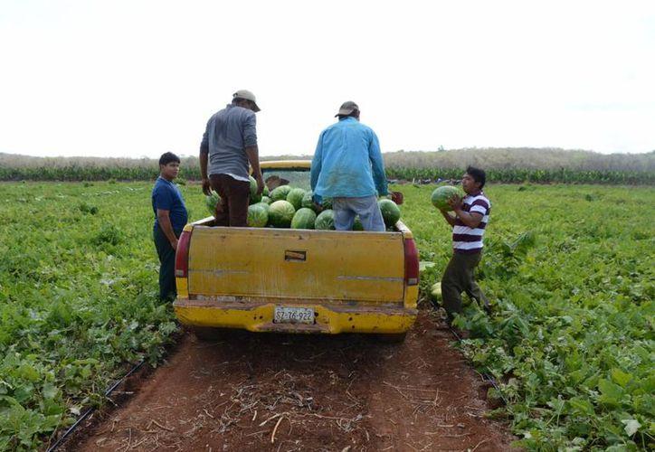 En la zona hay más de tres mil productores que están en espera se les realice el deposito del recursos federal. (Juan Rodríguez/ SIPSE)