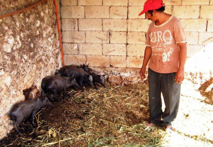 El cerdo pelón está al nivel de la especie ibérico bellota, con el cual se produce el jamón serrano. (Cecilia Ricárdez/SIPSE)