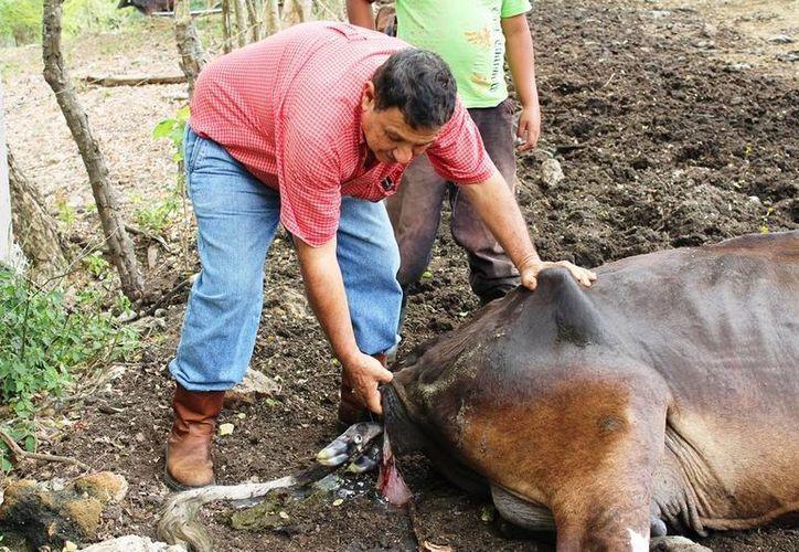 El Departamento de Agricultura de Estados Unidos revisarán el manejo que se les brindan a los animales.( Edgardo Rodríguez/SIPSE)