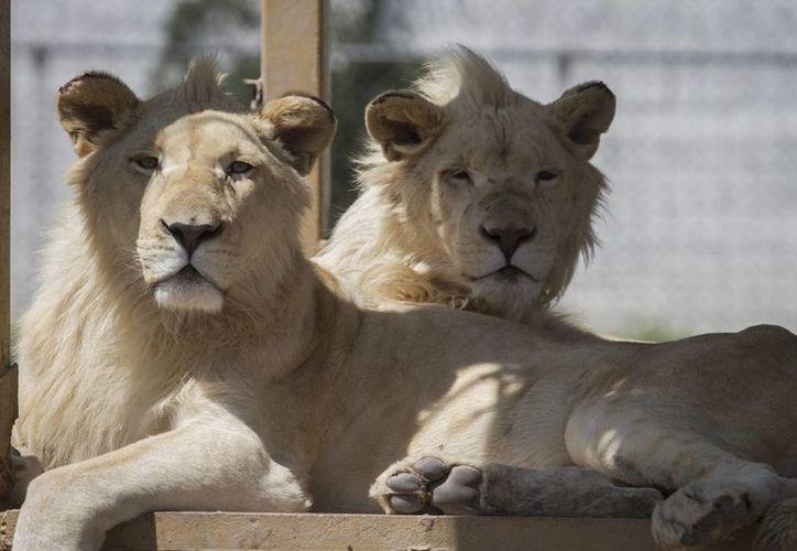 El Día Mundial de los Animales se realizó por primera vez en 1931, a fin de atender la problemática de especies en peligro de extinción. (Archivo/Notimex)