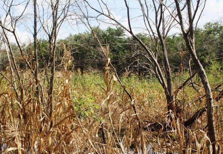 La falta de lluvias ha secado los cultivos en más de 250 hectáreas.  (Rossy López/SIPSE)