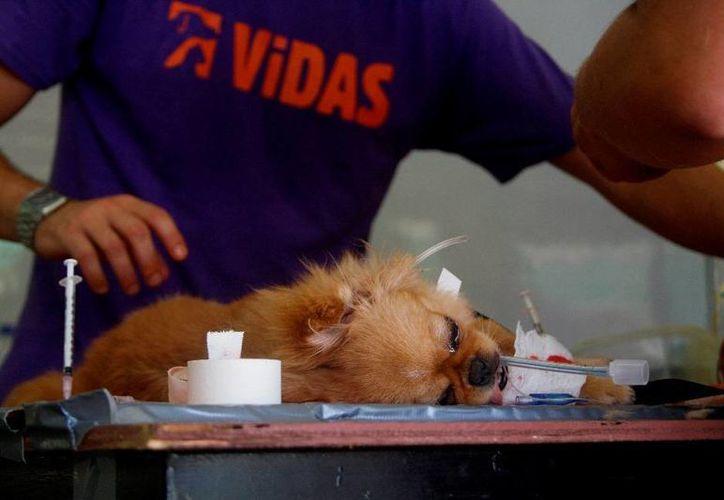 Expertos aseguran que la esterilización además previene enfermedades a largo plazo en perros y gatos. (Octavio Martínez/SIPSE)