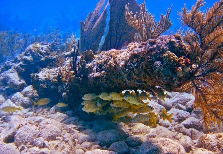 Después del blanqueamiento, surgen brotes de enfermedades normalmente porque los corales estresados son más susceptibles a infecciones. (Redacción/SIPSE)