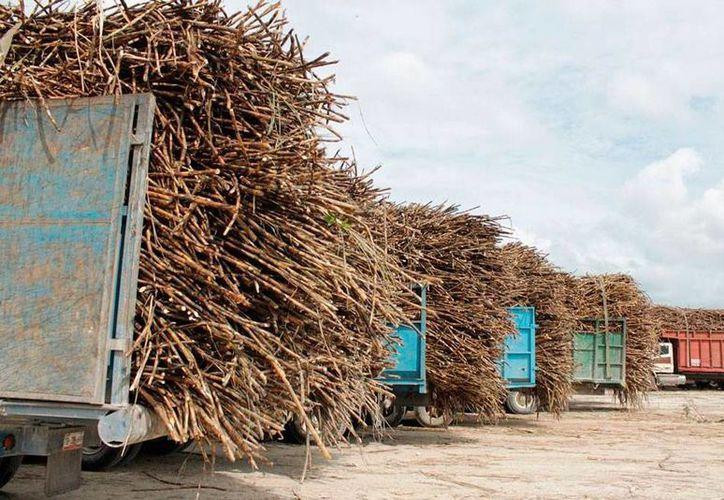 Estados Unidos impidió la llegada de azúcar desde México, lo que ha incrementado el precio del dulce en ese país, según los usuarios del producto. Sobre México pesa una demanda por 'dumping', es decir, vender un producto por debajo del precio que cuesta producirlo. La imagen es de caña producida en Quintana Roo. (Edgardo Rodriguez/SIPSE)