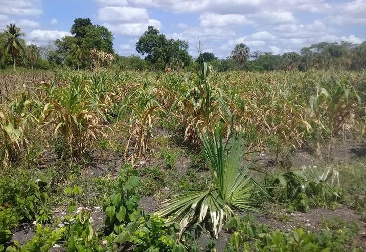 La adquisición de este seguro catastrófico protegerá a alrededor de 20 mil productores. (Carlos Castillo/SIPSE)