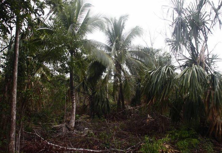 Los responsables de los proyectos deben comprometerse a reforestar una zona del mismo tamaño (Harold Alcocer/SIPSE)