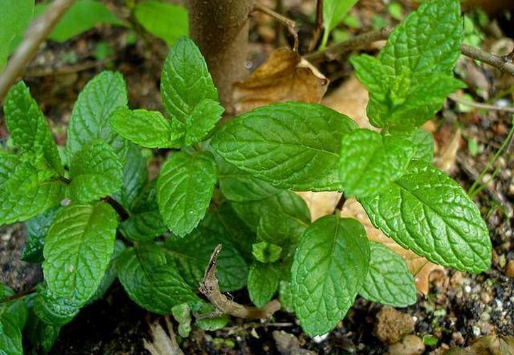 Debido a las propiedades analgésicas de la hierbabuena, es utilizada mediante aplicación externa para disminuir el dolor de una contusión o herida. (salud.uncomo.com)