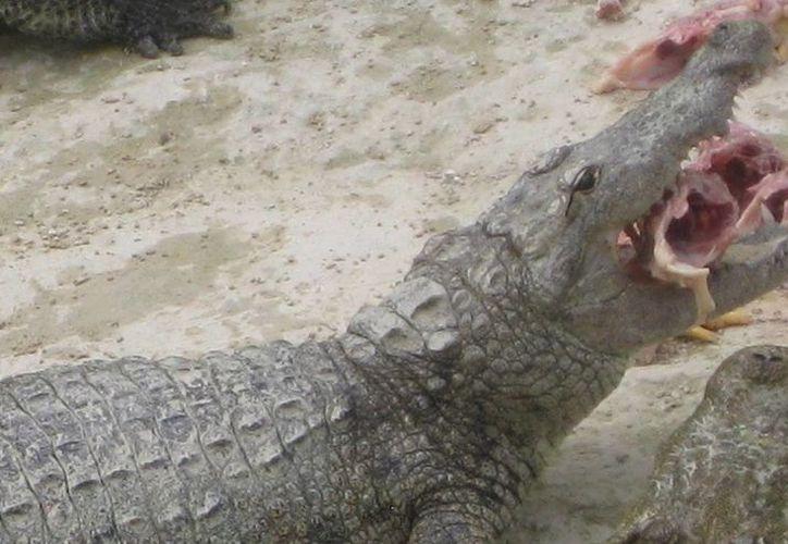 El rastro para el sacrificio de cocodrilos estará listo a finales de este mes y se ubicará en las inmediaciones de la comunidad de Xul-Há. (Harold Alcocer/ SIPSE)