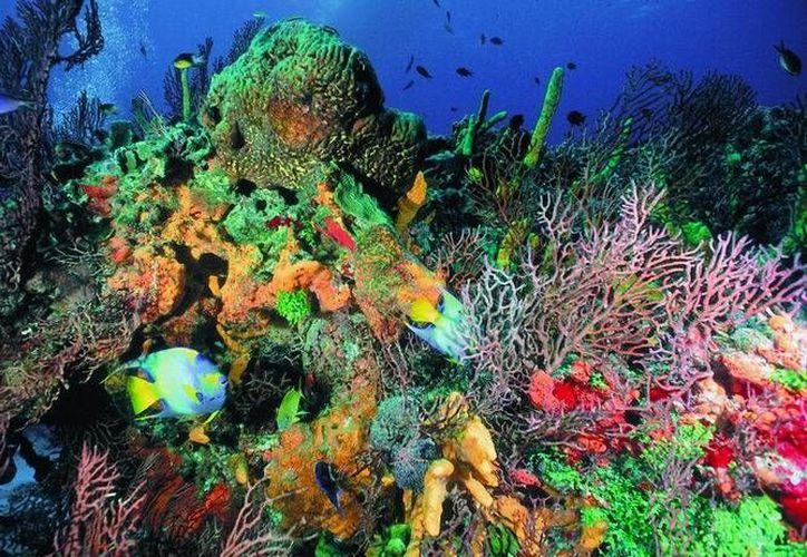 Se realizan siembras semestrales en los sitios de restauración en Arrecife Cuevones y Arrecife Manchones, en Quintana Roo. (Foto/Internet)