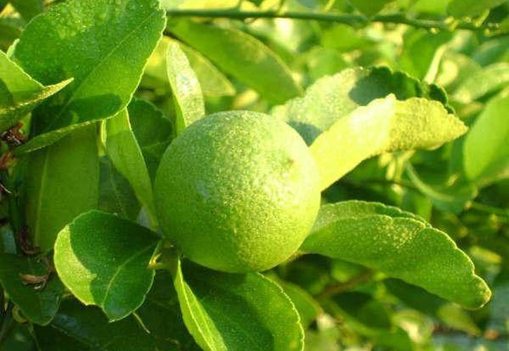 Los productores indican que la plaga que afecta a los limoneros empezó a aparecer hace un año.  (Redacción/SIPSE)