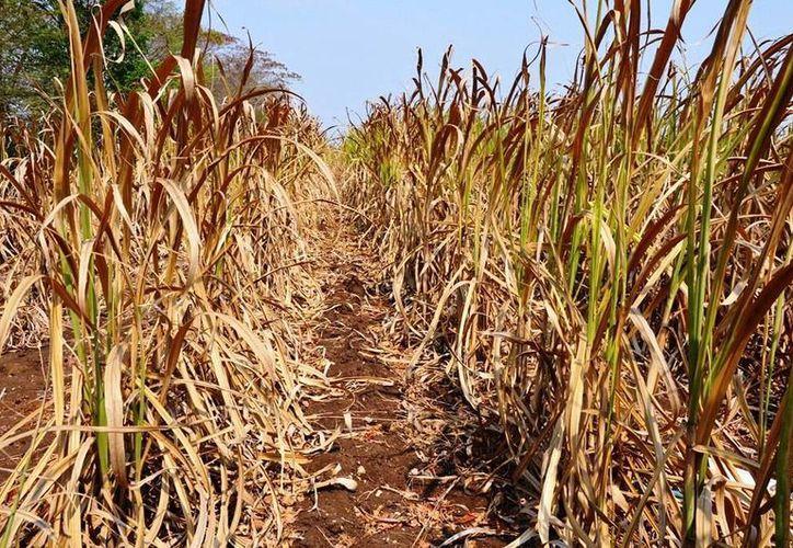 Fueron 10 mil hectáreas las que se salvaron debido a las lluvias que se registraron en días pasados. (Edgardo Rodrpíguez/SIPSE)