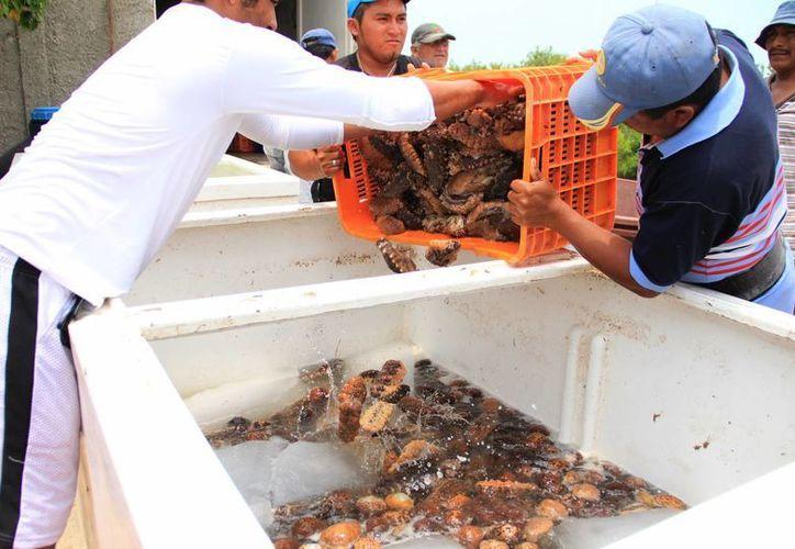 El pepino de mar es de los productos preferidos por los pescadores furtivos. (SIPSE)