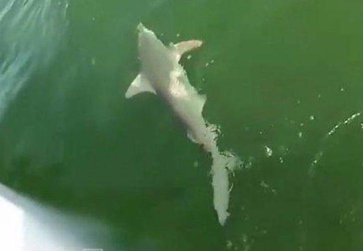 Tiburón merodeaba un bote cuando fue devorado por un mero. (Captura de pantalla de YouTube)