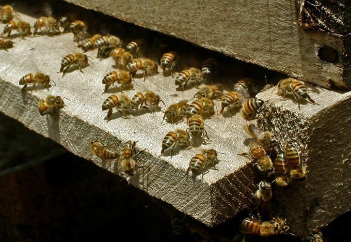 La medida evitará que las fumigaciones del empresario sigan afectando a las abejas. (Archivo)