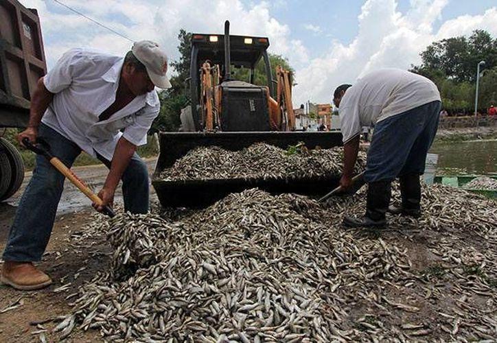 Las autoridades sanitarias de Jalisco indicaron que la cantidad de peces muertos podría generar enfermedades diarreicas en la zona. (Excélsior)