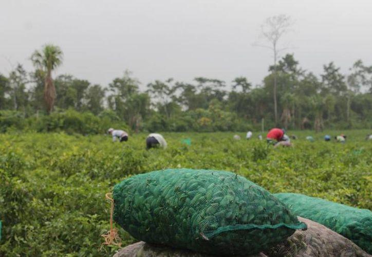 Los productores del campo se verán obligados a vender sus  cultivos sólo a pequeña escala, y en el mercado informal. (Edgardo Rodríguez/SIPSE)