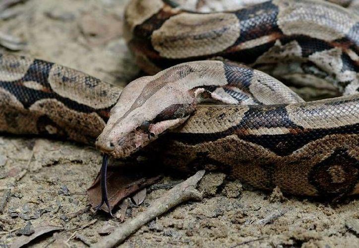 El reptil estaba en un lote baldío, sin que se especificará en que parte de la ciudad. (Foto de Contexto/Internet)