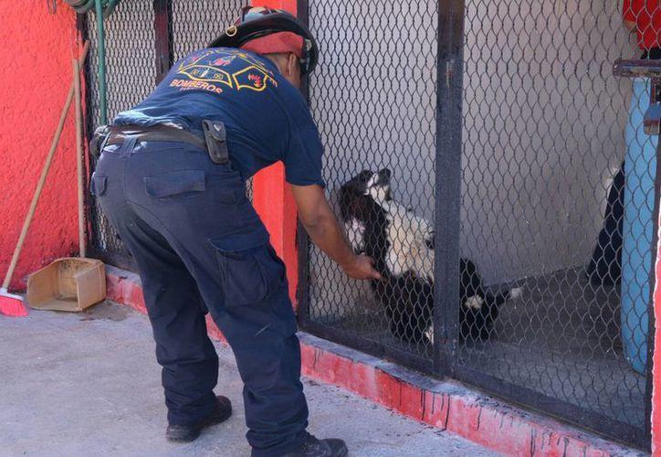 El supervisor del área canina de Bomberos señaló que son perros preparados para cualquier contingencia. (Victoria González/SIPSE)