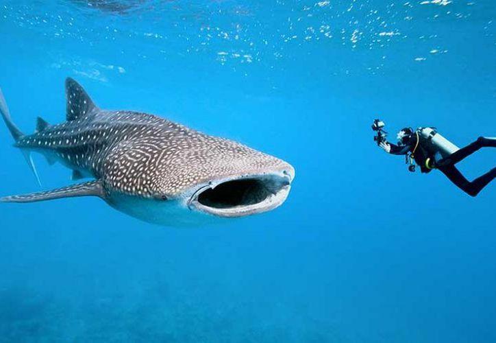 La experiencia de nadar con la especie en el mar Caribe y La Bahía de La Paz es una de las más demandadas. (Contexto)
