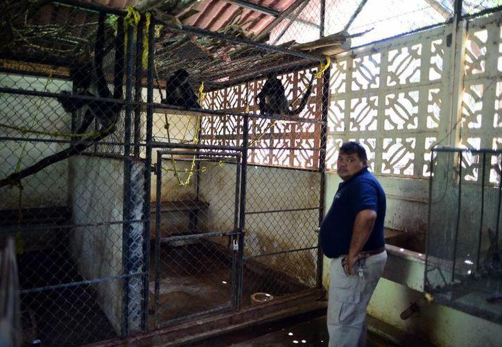 A los tres monos araña, al león y al tigre recuperados les fueron extraídos los colmillos y mutiladas las garras, informó el jefe del zoológico del Centenario, William Cabrera. (Luis Pérez/SIPSE)