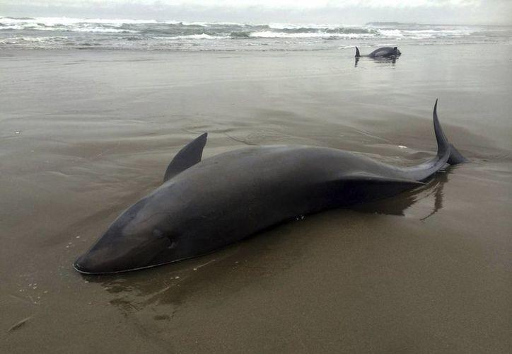 De los delfines aparecieron en la Playa Ostonal, en el distrito de Tonosí,  al menos 25 fueron devueltos al mar y seis murieron. Imagen de contexto de otro varamiento. (EFE/Archivo)