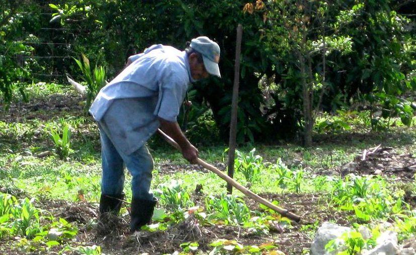 Aseguran especialistas que Yucatán tiene todo para la transición de cultivos agroquímicos a agroecológicos. (SIPSE)