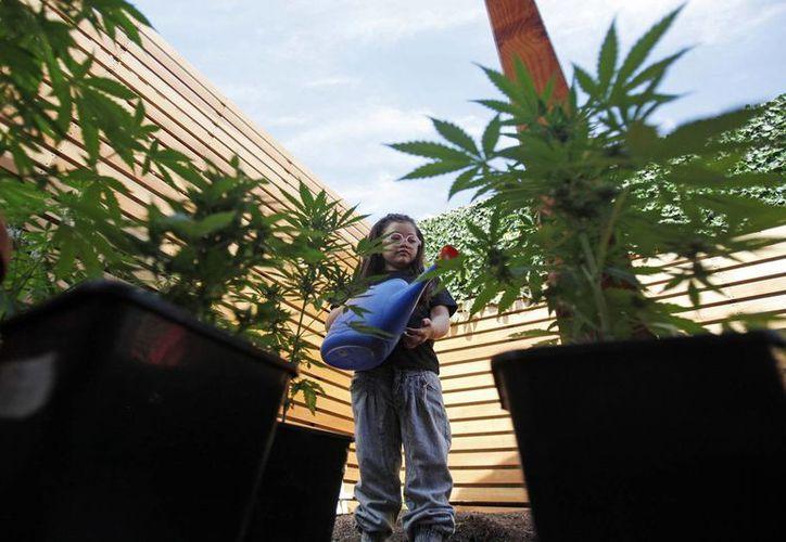 Javiera Canales riega plantas de marihuana medicinal en su casa familiar, en Santiago de Chile. (Agencias)