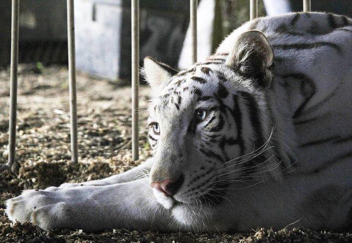 Hay ciertas especies como los tigres que están acostumbrados a la ayuda del hombre para sobrevivir. (Notimex)