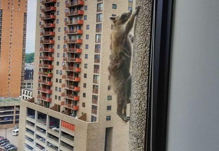 Miembros de la Administración y Control de Vida Salvaje se encargaron de rescatar al mapache. (Foto: Redes sociales)