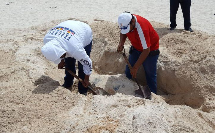 Este sábado, luego de sacar el cadáver de un manatí que recaló en playas de Telchac (foto), expertos del Pacmmy informaron que un delfín que llegó muerto a la costa de Progreso falleció por el uso de artes de pesca. (Gerardo  Keb/SIPSE)