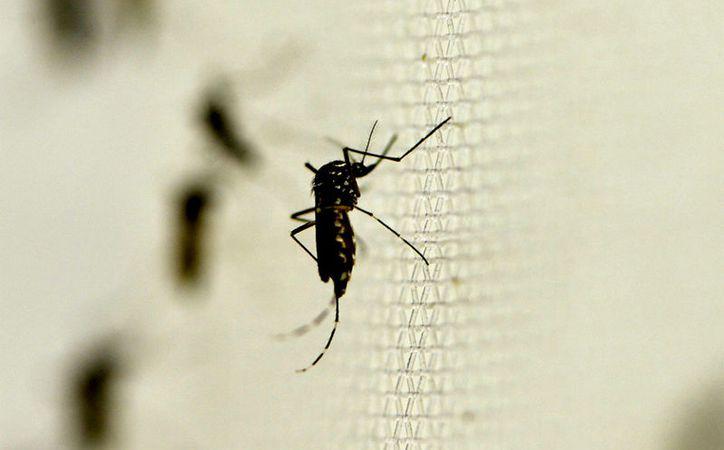 En Yucatán, buscan nuevas formas de combatir el mosquito Aedes aegypti, transmisor del dengue, zika y chikungunya. Una de las alternativas es el empleo de la bacteria wolbachia. (Archivo/SIPSE)