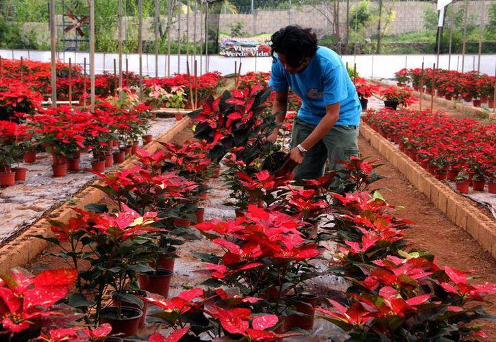 En 2015 esperan producir 70 mil plantas de Nochebuena. Imagen de un joven que cosecha las plantas. (Milenio Novedades)