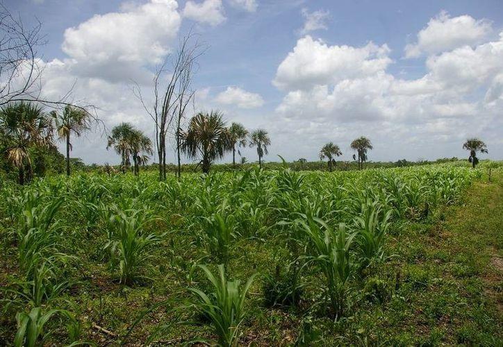 Los campesinos serán dotados de insumos, herramientas, fertilizantes y maquinaria para elevar el volumen de producción de maíz. (Manuel Salazar/SIPSE)