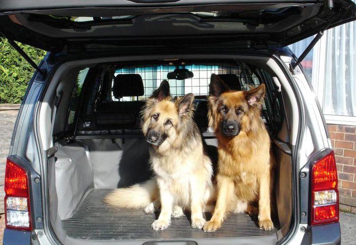 El golpe de calor es, sin duda, uno de los mayores riesgos que corren nuestras mascotas en verano y más al viajar en un vehículo sin aire acondicionado. (Milenio Novedades)
