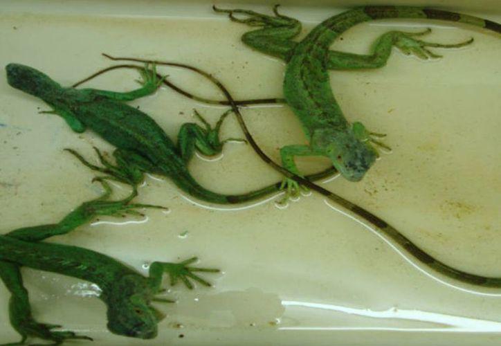 """Las iguanas verdes fueron llevadas al zoológico de """"El Centenario"""" en la Ciudad de Mérida, para su resguardo y protección. (profepa.gob.mx)"""