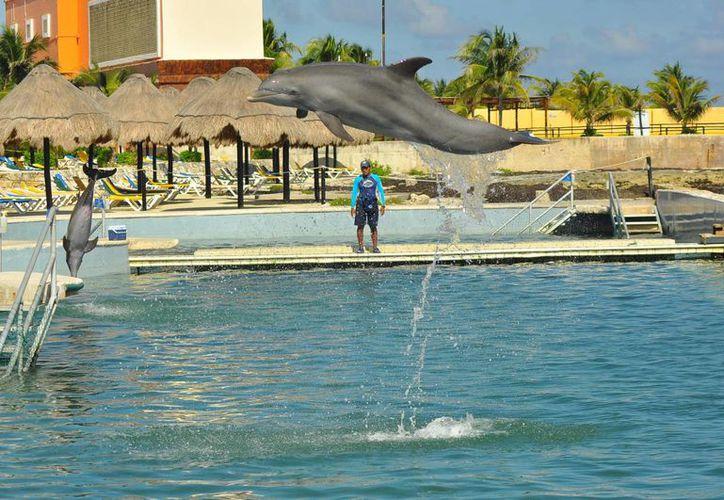 Omar Rodríguez es originario de Cozumel, y aunque no pensó que trabajaría en un delfinario, ahora tiene constante contacto con los mamíferos marinos, lo que le proporciona grandes satisfacciones. (Harold Alcocer/SIPSE)