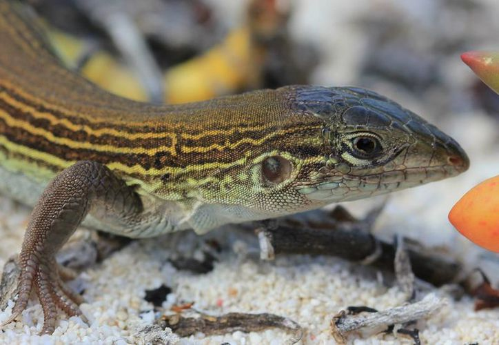En Cozumel, habita el 'Huico' (Aspidoscelis cozumelae) reptil microendémico que se clona a sí mismo para poder reproducirse. (Cortesía)