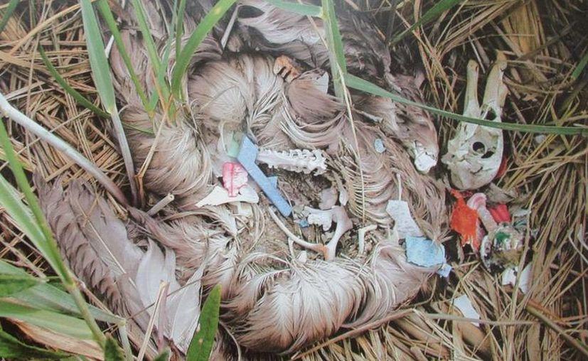 El 70% de las aves ingieren basuran, por confundirlos con frutos por su diverso colorido. (Harold Alcocer/SIPSE)