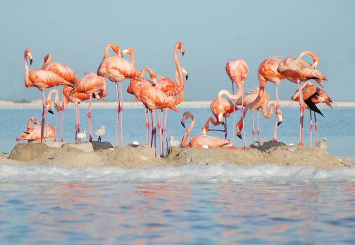 Los flamencos llegan para su anidación, en la laguna Chacmuchuch, ubicada en Isla Mujeres. (Contexto/Internet)