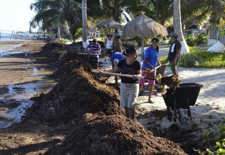 Por el momento la única opción viable para retirar el sargazo, sin causar afectación a la costa, es con rastrillos y carretillas. (Ángel Castilla/SIPSE)
