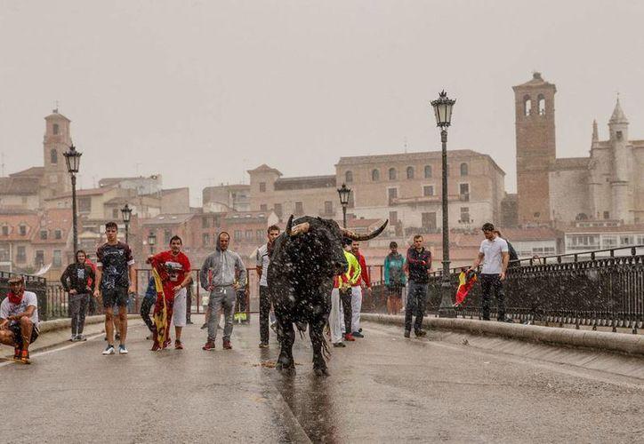 Un toro bajo la lluvia en Tordesillas, España, durante una corrida, el martes 13 de septiembre de 2016. Las corridas de toros, donde hombres a caballo y a pie persiguen y arponean al animal, cada vez provoca más protestas de los defensores de los animales. (AP Foto/Daniel Ochoa de Olza)