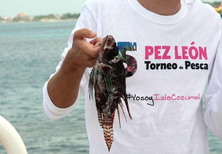 La especie invade ecosistemas como arrecifes, manglares y ahora pastos marinos. (Tomás Álvarez/SIPSE)