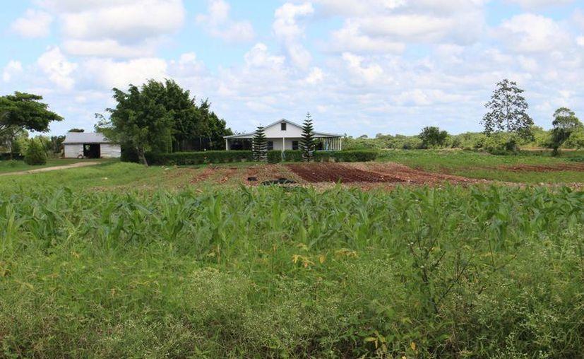 La siembra de soya transgénica fue detectada en el Ejido de Nuevo Salamanca, una comunidad menonita en el municipio de Bacalar. (Ángel Castilla/SIPSE)
