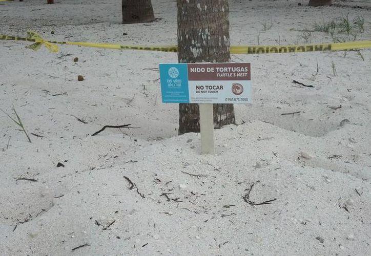 La anidación de la temporada pasada arrojó un registro de 470 nidos en una extensión de playas. (Sara Cauich/SIPSE)