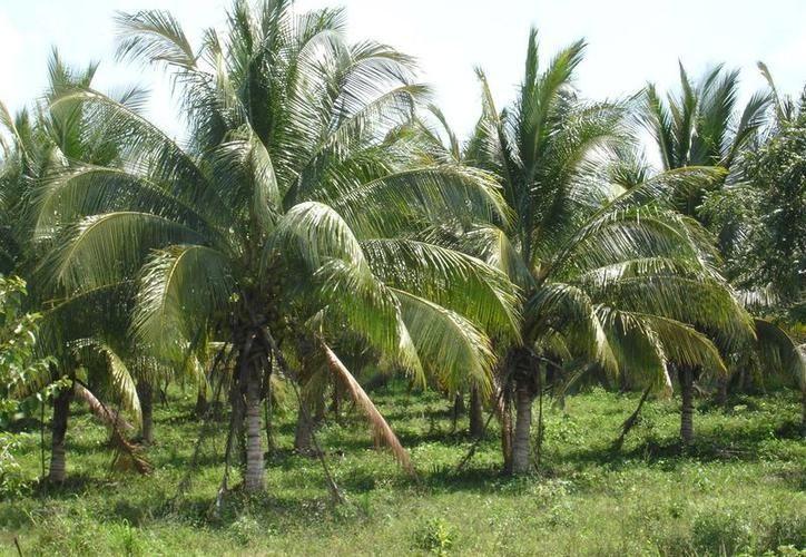 Las plantas de coco producidas en el CICY son resistentes al amarillamiento letal. (Archivo/Sipse)